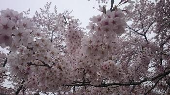 散る桜 (1).JPG