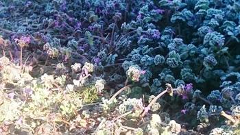 春の霜 (1).JPG