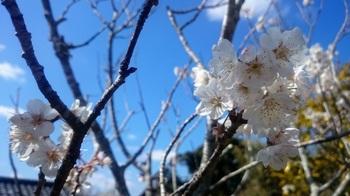 桜桃の花.JPG