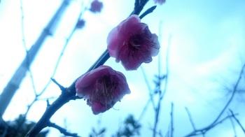 梅の花 (1).JPG