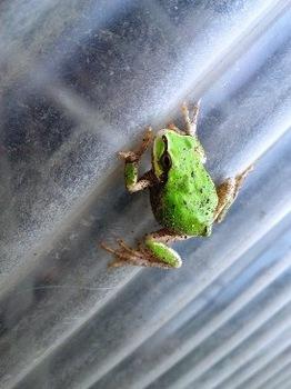 雨蛙 (4).JPG