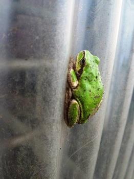 雨蛙藍 (1).JPG
