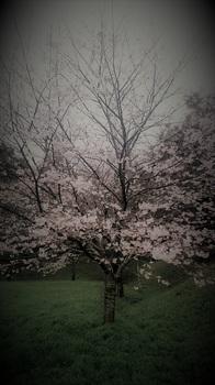 さくらの木.JPG
