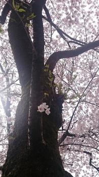千本桜 (5).JPG