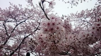 千本桜 (8).JPG