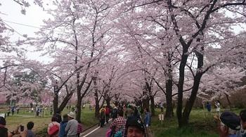 散る桜 (2).JPG