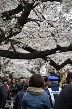 桜 (4).JPG