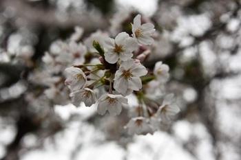 桜 (5).JPG