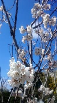 桜桃の花2.JPG