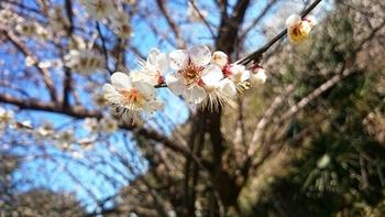 梅の見頃 (3).JPG