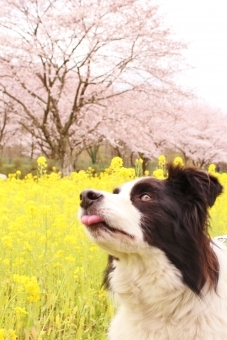 犬 桜 (2).jpg