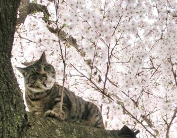 猫 桜 (1).jpg